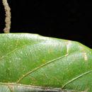 Image of <i>Omphalea diandra</i> L.