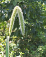 Image of Giant Bristle Grass