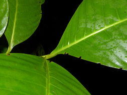 Image of <i>Coussarea hondensis</i>
