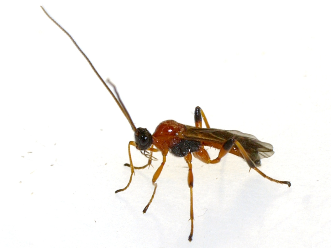 Image of <i>Aleiodes parasiticus</i> Norton 1869