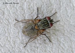 Image of False stable fly