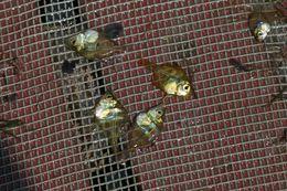 Image of Duskyfin glassy perchlet