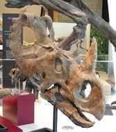 Image of <i>Centrosaurus apertus</i> (Lambe 1905)