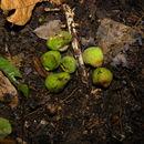 Image of breadnut