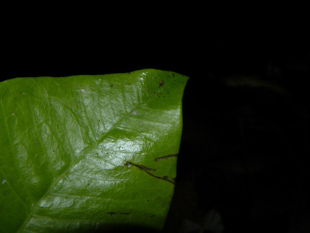 Sivun <i>Aspidosperma megalocarpon</i> Müll. Arg. kuva