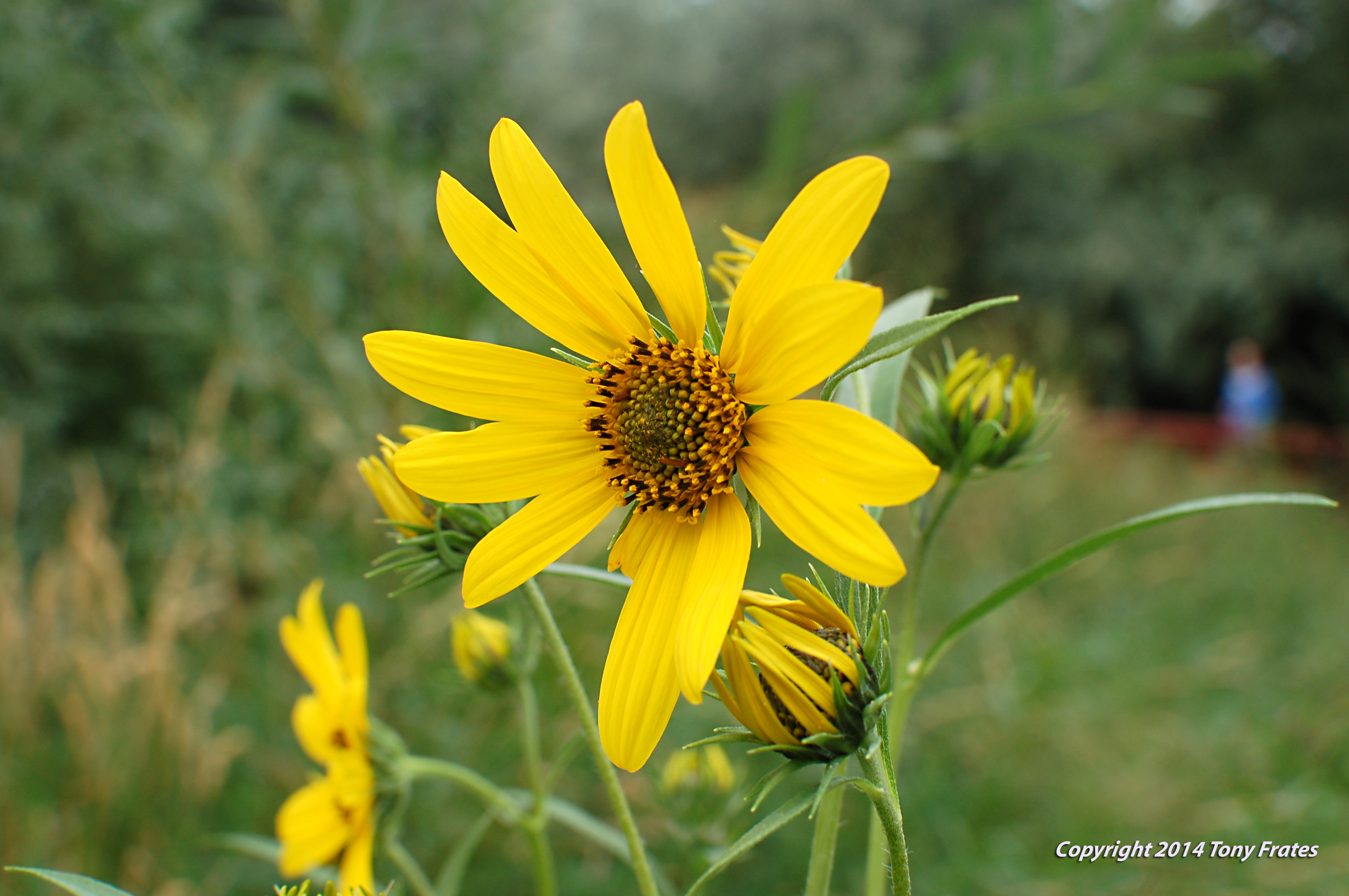 Image of Nuttall's sunflower