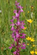 Image of <i>Orchis <i>palustris</i></i> ssp. palustris