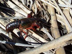 Image of red swamp crawfish