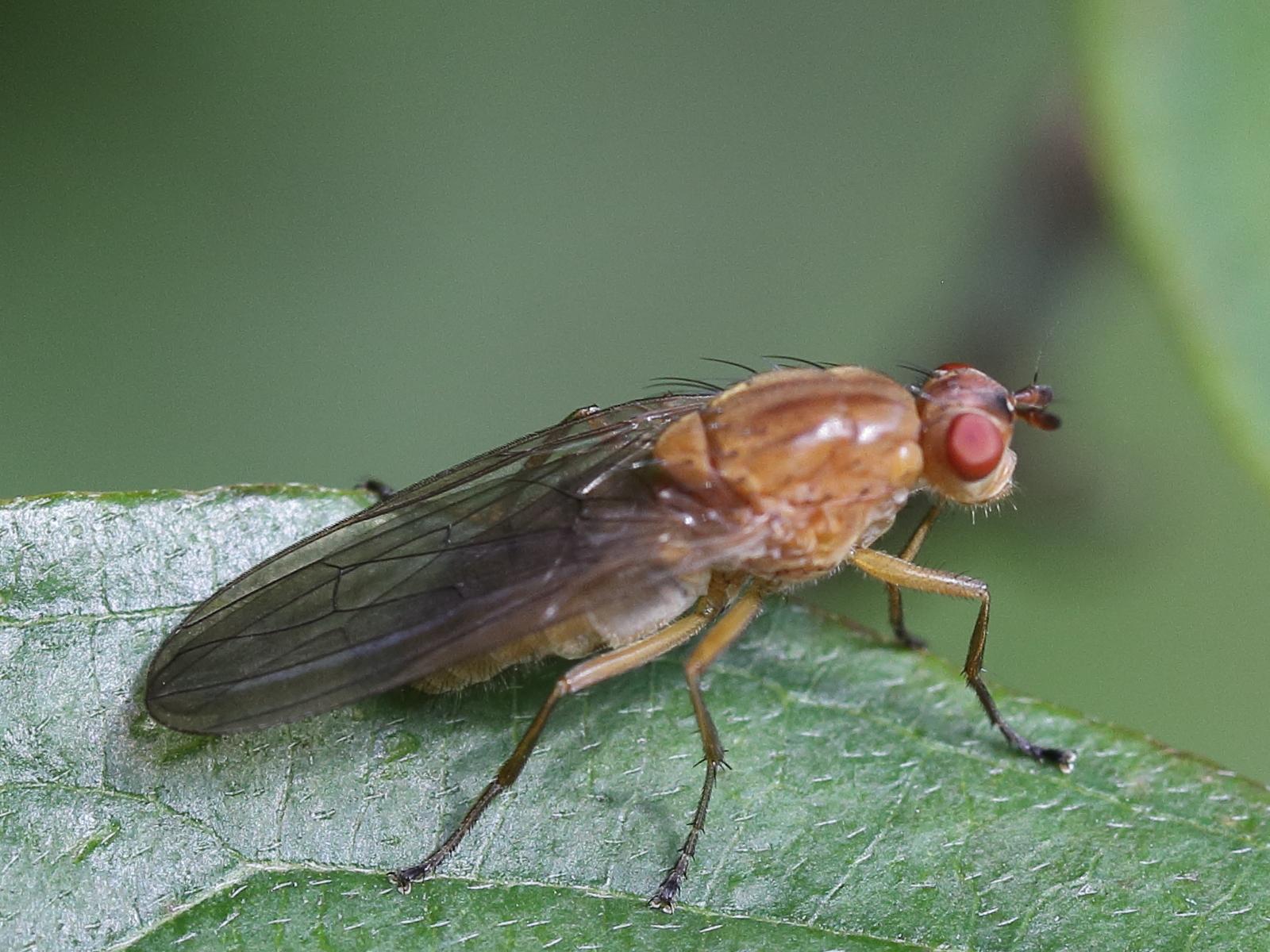 Image of <i>Dryomyza flaveola</i>