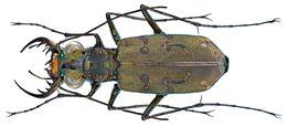 Image of <i>Cylindera</i> (<i>Eugrapha</i>) <i>mutata</i> (Fleutiaux 1893)
