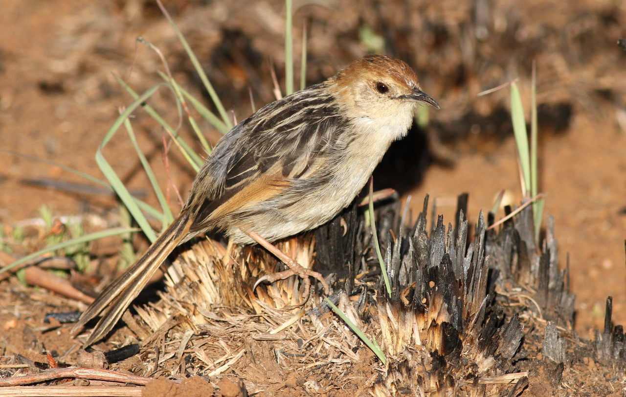 Image of Lesser Black-backed Cisticola
