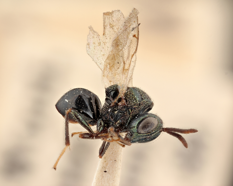 Image of <i>Perilampus laevifrons</i> Dalman 1822