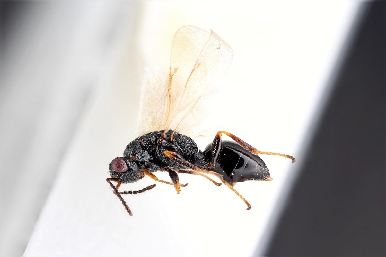 Image of <i>Tetramesa hyalipennis</i> (Walker 1832)