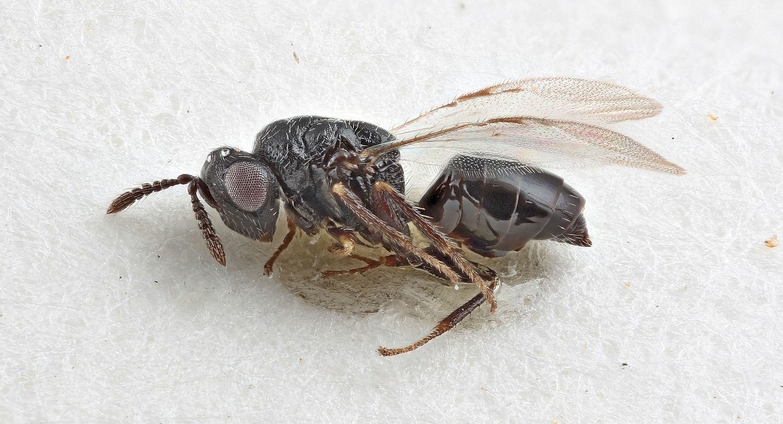 Image of <i>Systole conspicua</i> Erdos 1951
