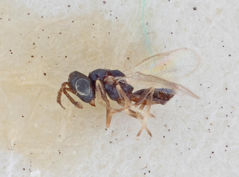 Image of <i>Pteromalus crassicornis</i> Zetterstedt 1838