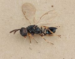 Image of <i>Sphegigaster stepicola</i> Boucek 1965