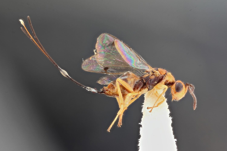 Image of <i>Megastigmus aculeatus</i> (Swederus 1795)