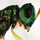 Image of <i>Halticoptera flavicornis</i> (Spinola 1808)