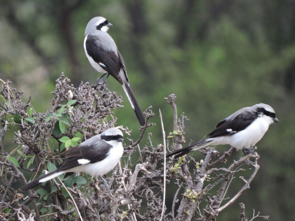 Image of Gray-backed Fiscal