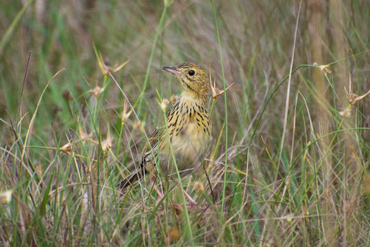 Image of Ochre-breasted Pipit