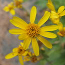 Image of hairy arnica