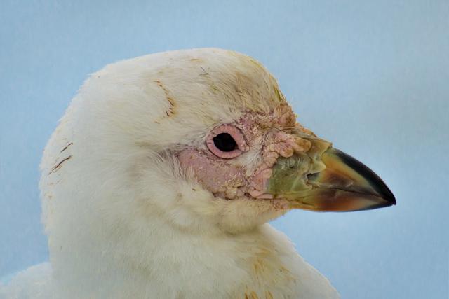 Image of Snowy Sheathbill