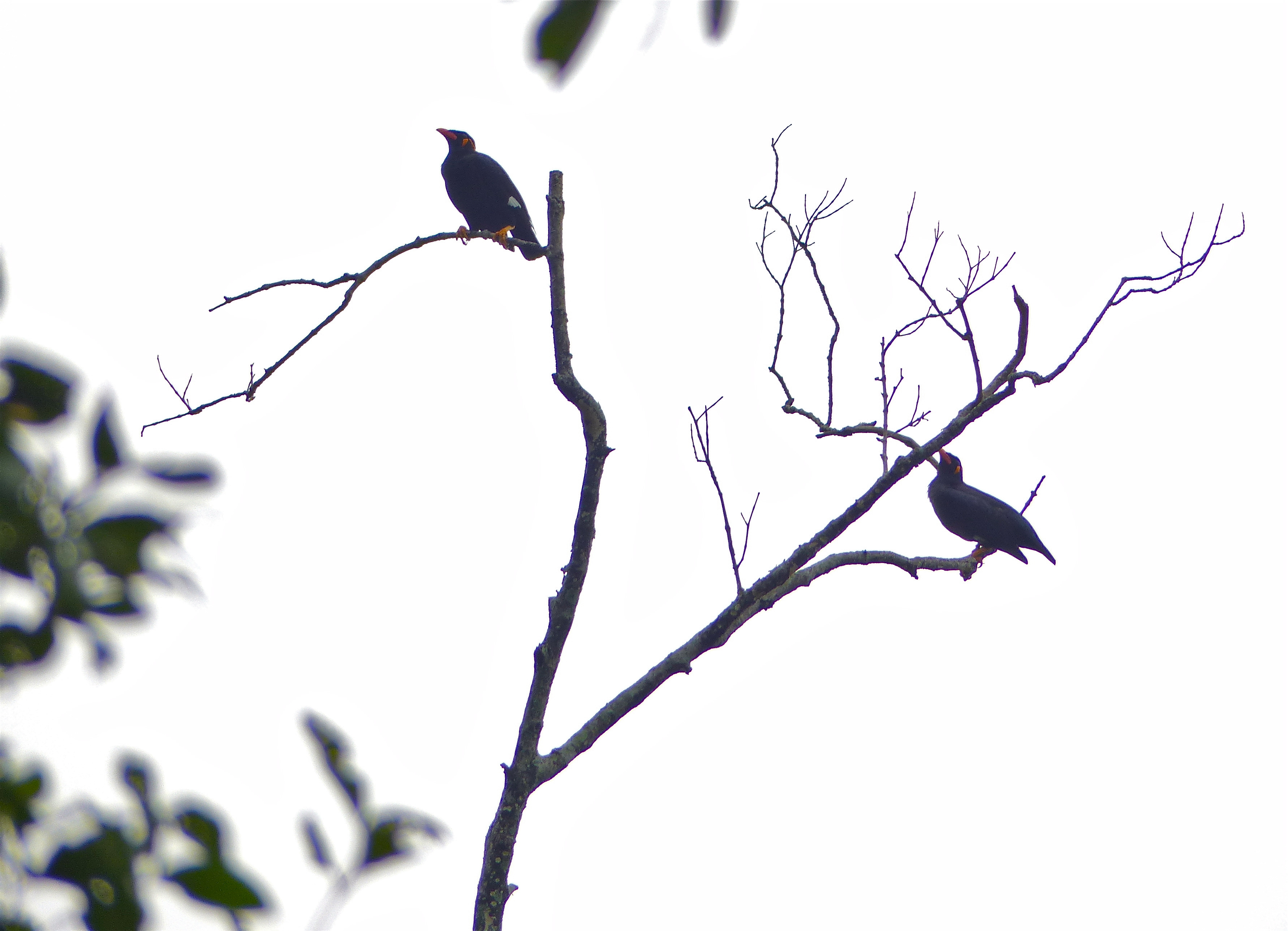 Image of Common Hill Myna