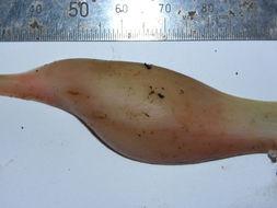 Image of <i>Homalomena erythropus</i> (Mart. ex Schott) Engl.