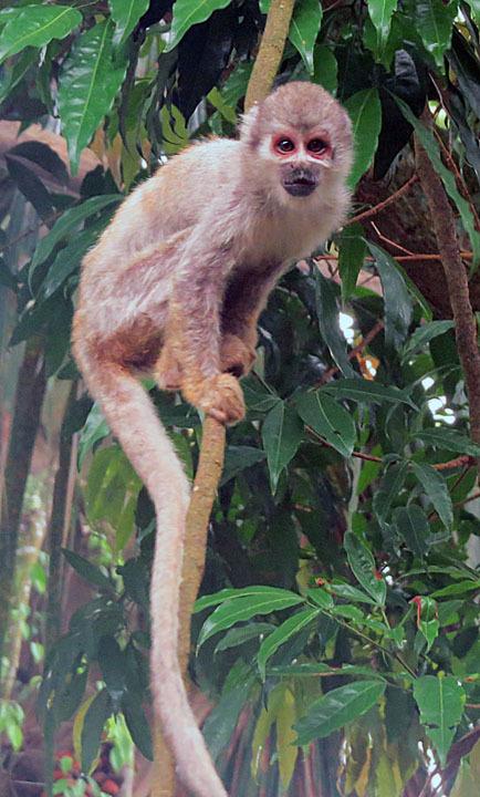 Image of Common Squirrel Monkey