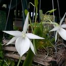Image of <i>Angraecum leonis</i> (Rchb. fil.) André