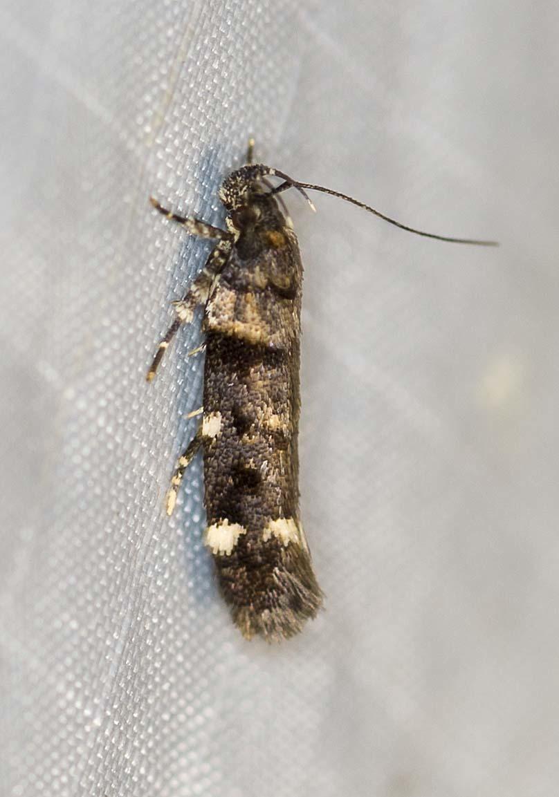 Image of <i>Macrobathra diplochrysa</i> Lower 1894