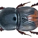 Image of <i>Megatelus doriai</i>