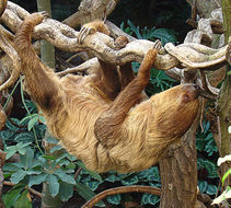 Image of Linnaeus's Two-toed Sloth