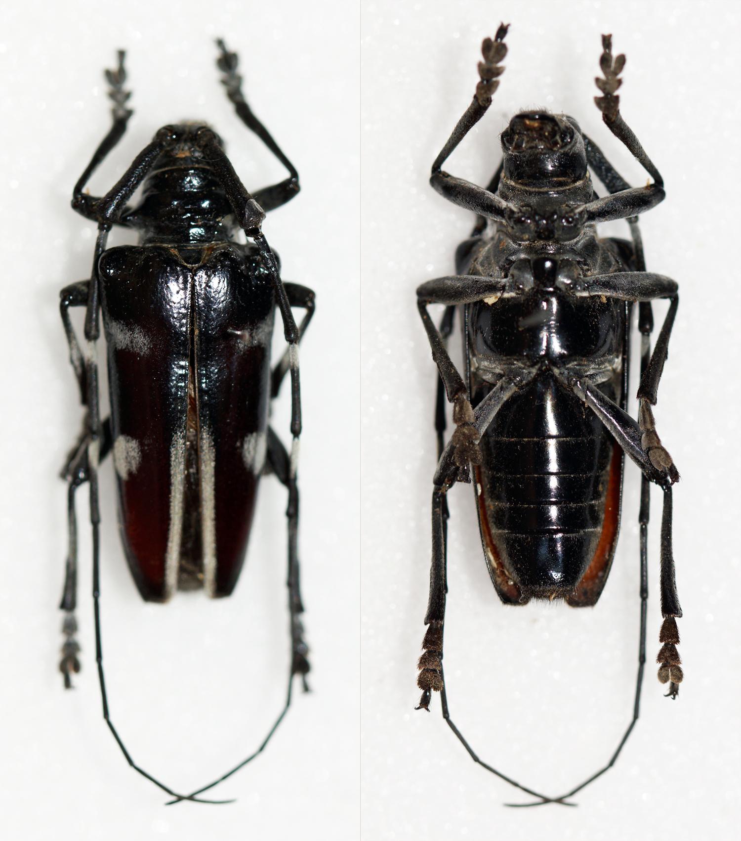 Image of <i>Cereopsius arbiter</i> Pascoe 1885