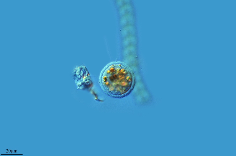 Image of <i>Pompholyxophrys punicea</i>