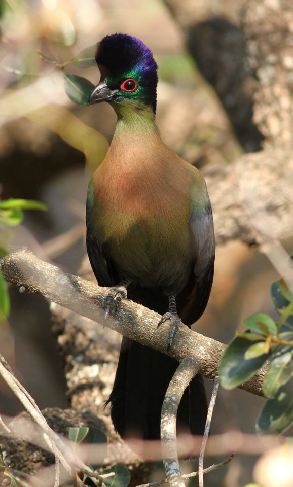Image of Purple-crested Turaco