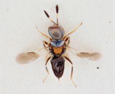 Image of <i>Cheiloneurus paralia</i> (Walker 1837)