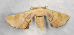 Image of <i>Gastridiota adoxima</i> (Turner 1902)