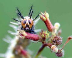 Image of <i>Acraea serena</i>