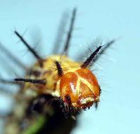 Image of <i>Acraea oncaea</i> Hopffer 1855