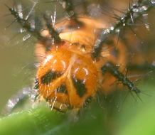 Image of <i>Acraea neobule</i>