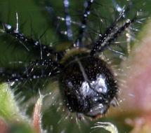 Image of <i>Acraea lycoa</i> Godart 1819