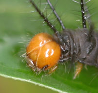 Image of <i>Acraea peneleos</i> Ward 1871