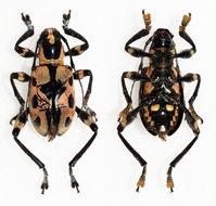 Image of <i>Doliops halconensis</i> Vives 2012