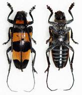 Image of <i>Cereopsius quaestor nigrobasalis</i>