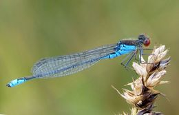 Image of Small Red-Eyed Damselfly