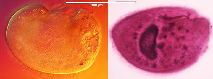 Image of <i>Peniculistoma mytili</i>