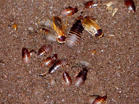 Image of Burrowing cockroach
