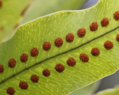 Image of golden polypody