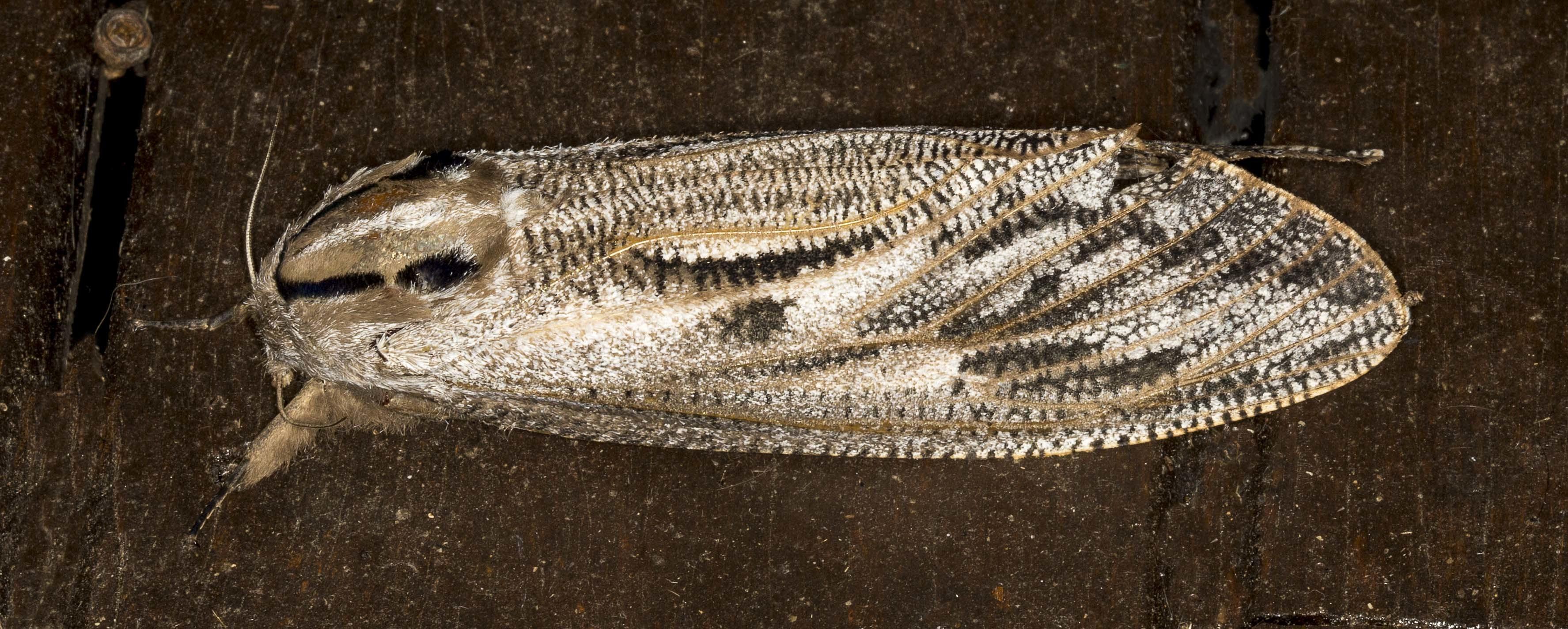 Image of <i>Endoxyla lituratus</i>